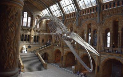 Biffig blåval ersätter älskad dinosaurie på naturhistoriska