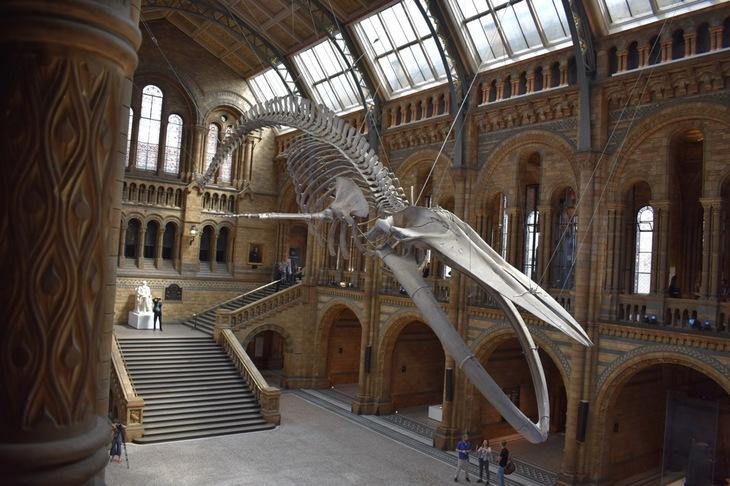 Blåval på Natural History Museum